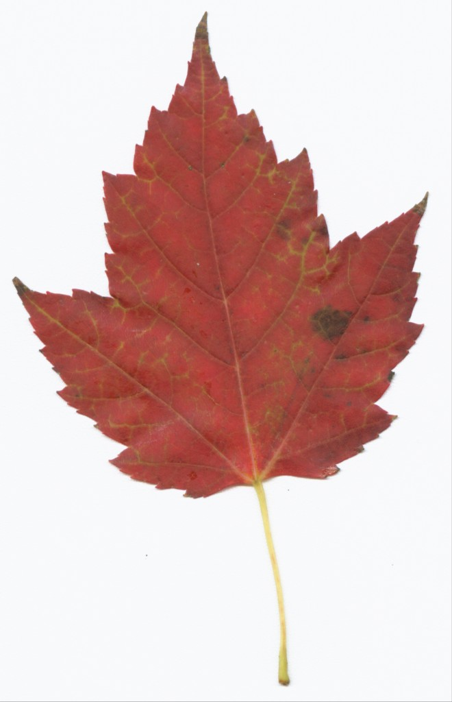 Maple Leaf Pathway Beautiful: Red Maple Poisoning In Horses